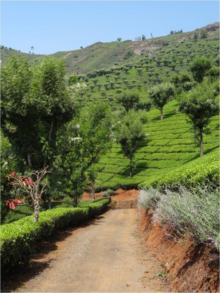 Inde Ooty plantation3