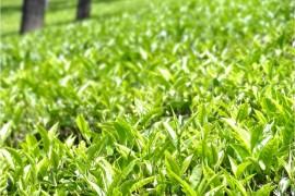 Inde Ooty plantation4
