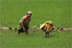 Inde Koraput rizières