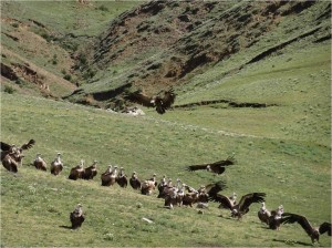 Chine Sichuan Litang vautours