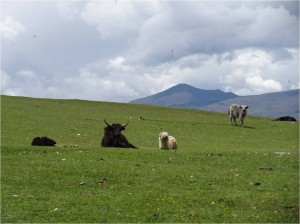 Chine Sichuan Litang yaks