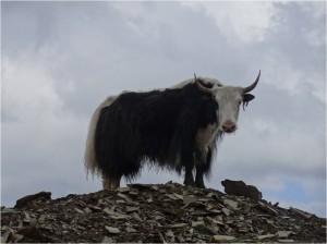 Chine Sichuan Songpan yak