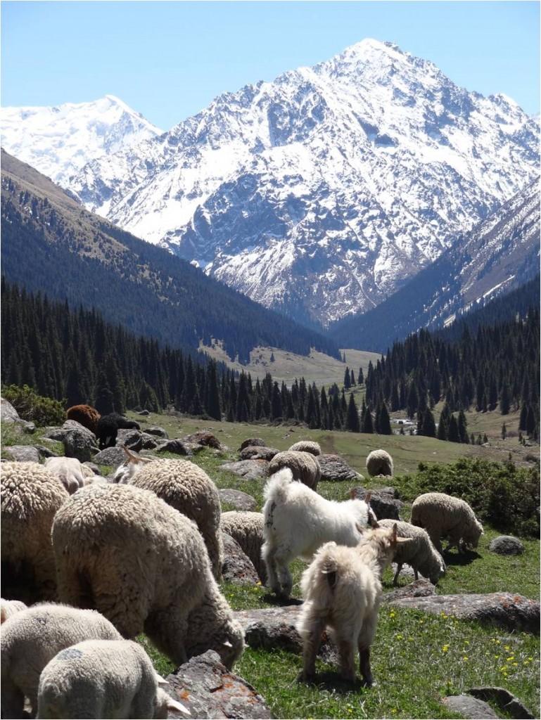 Kirghizistan Altyn Arashan vallée moutons