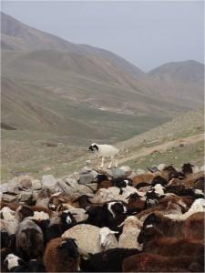 Kirghizistan Kol Ukok moutons