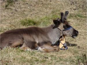 Mongolie Tsaatanes rennes 3