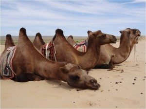 Mongolie désert Gobi Khongoryn Els chameaux