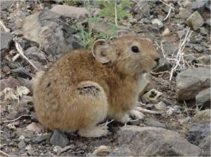 Mongolie désert Gobi Yolyn Am hamster
