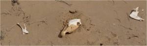 Mongolie désert Gobi ossements