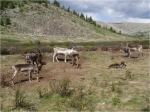 Mongolie trek cheval Tsaatanes rennes 2