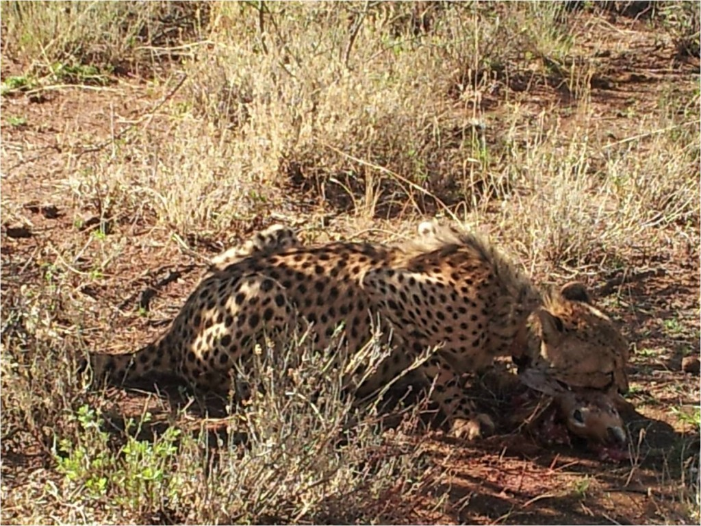 Namibie-Okonjima-guépard