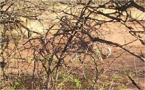 Namibie-Okonjima-léopard