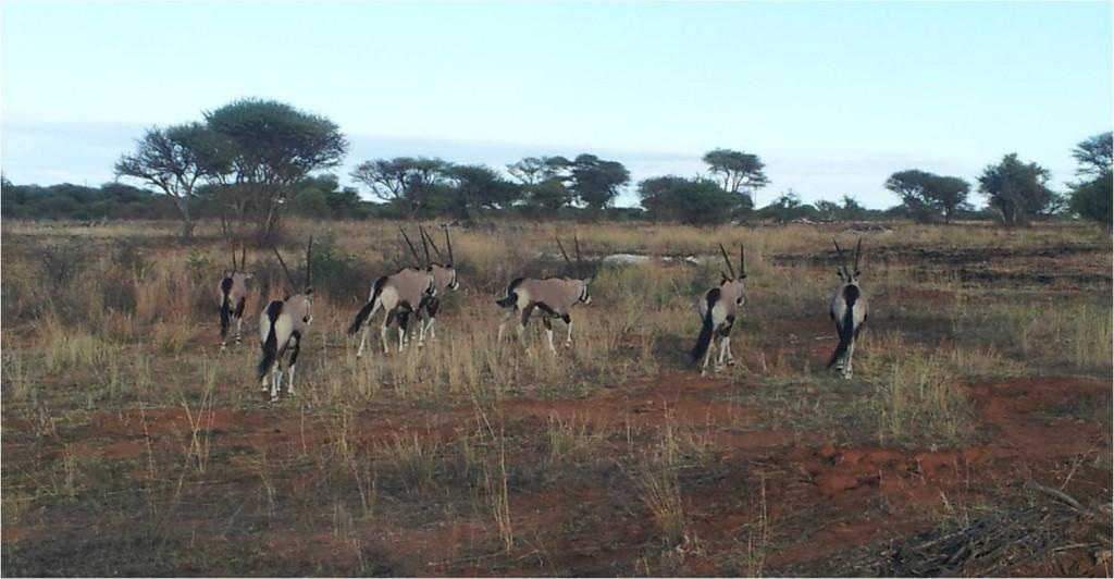 Namibie-Okonjima-oryx