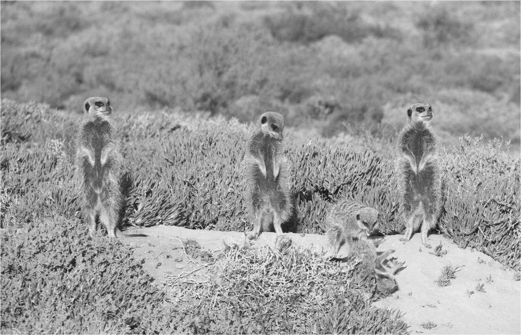 AFS-Oudtschoorn_Knysna-suricates