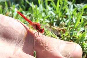 AFS-camping-dragonfly